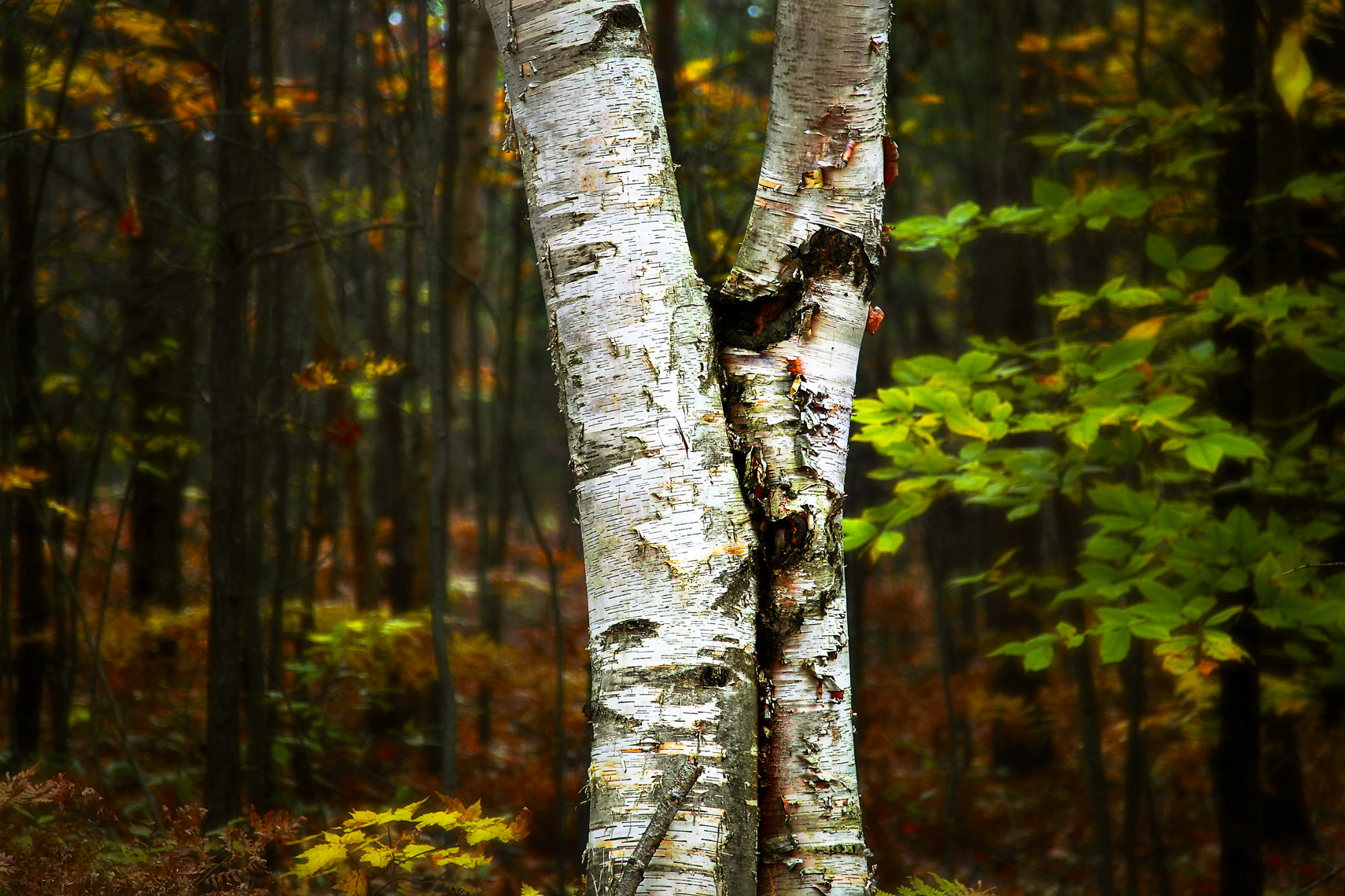 Fall_PerchLake_TwinBirch.jpg